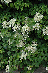 Climbing Hydrangea (Hydrangea anomala 'var. petiolaris') at Minor's Garden Center