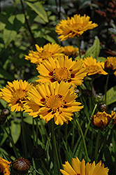 Sunfire Tickseed (Coreopsis grandiflora 'Sunfire') at Minor's Garden Center
