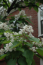 Northern Catalpa (Catalpa speciosa) at Minor's Garden Center
