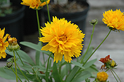 Sunray Tickseed (Coreopsis grandiflora 'Sunray') at Minor's Garden Center