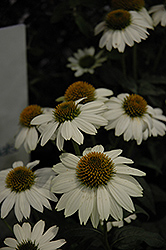 PowWow® White Coneflower (Echinacea purpurea 'PowWow White') at Minor's Garden Center