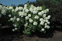 Phantom Hydrangea (Hydrangea paniculata 'Phantom') at Minor's Garden Center