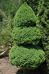 Dwarf Alberta Poodle Spruce (Picea glauca 'Conica (pom pom)') at Minor's Garden Center