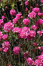 Red Leaf Sea Thrift (Armeria maritima 'Rubrifolia') at Minor's Garden Center