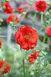 Blazing Sunset Grecian Rose (Geum 'Blazing Sunset') at Minor's Garden Center