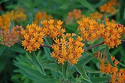 Gay Butterflies Milkweed (Asclepias tuberosa 'Gay Butterflies') at Minor's Garden Center