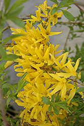 Gold Tide Forsythia (Forsythia x intermedia 'Gold Tide') at Minor's Garden Center
