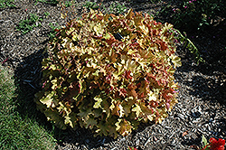 Caramel Coral Bells (Heuchera 'Caramel') at Minor's Garden Center