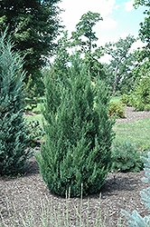 Blue Point Juniper (Juniperus chinensis 'Blue Point') at Minor's Garden Center