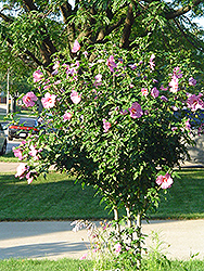 Aphrodite Rose of Sharon (Hibiscus syriacus 'Aphrodite') at Minor's Garden Center