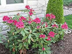 Nova Zembla Rhododendron (Rhododendron 'Nova Zembla') at Minor's Garden Center