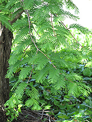 Dawn Redwood (Metasequoia glyptostroboides) at Minor's Garden Center