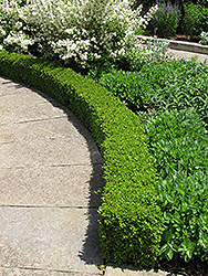 Green Velvet Boxwood (Buxus 'Green Velvet') at Minor's Garden Center