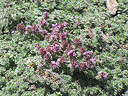 Woolly Thyme (Thymus pseudolanuginosis) at Minor's Garden Center