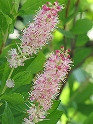 Ruby Spice Summersweet (Clethra alnifolia 'Ruby Spice') at Minor's Garden Center
