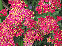 Paprika Yarrow (Achillea millefolium 'Paprika') at Minor's Garden Center