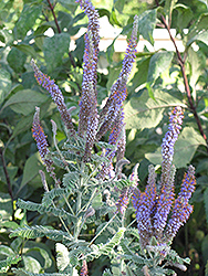 Leadplant (Amorpha canescens) at Minor's Garden Center