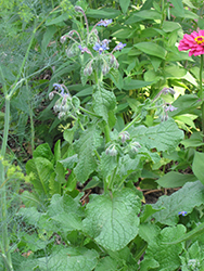 Borage (Borago officinalis) at Minor's Garden Center
