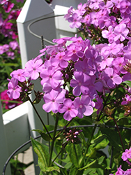 Forever Pink Garden Phlox (Phlox 'Forever Pink') at Minor's Garden Center