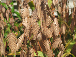 Northern Sea Oats (Chasmanthium latifolium) at Minor's Garden Center
