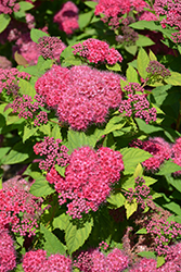 Double Play® Red Spirea (Spiraea japonica 'SMNSJMFR') at Minor's Garden Center