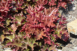 Dolce® Cinnamon Curls Coral Bells (Heuchera 'Inheuredfu') at Minor's Garden Center