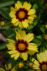 UpTick™ Yellow and Red Tickseed (Coreopsis 'Baluptowed') at Minor's Garden Center