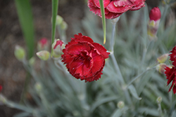 Pretty Poppers™ Electric Red Pinks (Dianthus 'Electric Red') at Minor's Garden Center