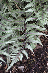 Godzilla Japanese Painted Fern (Athyrium 'Godzilla') at Minor's Garden Center