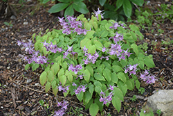Purple Pixie Barrenwort (Epimedium grandiflorum 'Purple Pixie') at Minor's Garden Center