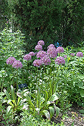 Globemaster Ornamental Onion (Allium 'Globemaster') at Minor's Garden Center