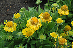 Mesa Yellow Blanket Flower (Gaillardia x grandiflora 'Mesa Yellow') at Minor's Garden Center