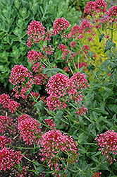 Jupiter's Beard (Centranthus ruber 'Coccineus') at Minor's Garden Center