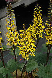 Little Rocket Golden-ray (Ligularia 'Little Rocket') at Minor's Garden Center