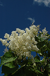 Ivory Pillar Japanese Tree Lilac (Syringa reticulata 'Willamette') at Minor's Garden Center