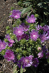 Peachie's Pick Stokes' Aster (Stokesia laevis 'Peachie's Pick') at Minor's Garden Center
