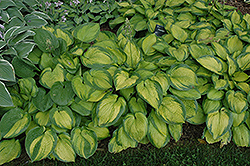 Paradigm Hosta (Hosta 'Paradigm') at Minor's Garden Center
