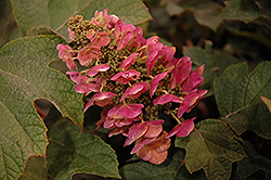 Ruby Slippers Hydrangea (Hydrangea quercifolia 'Ruby Slippers') at Minor's Garden Center