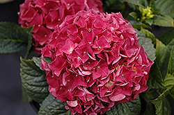 Grateful Red Hydrangea (Hydrangea macrophylla 'McKRed') at Minor's Garden Center