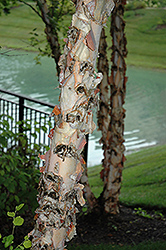 River Birch (Betula nigra) at Minor's Garden Center