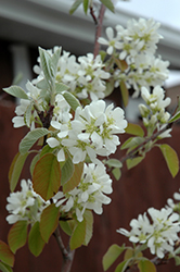 Standing Ovation Serviceberry (Amelanchier alnifolia 'Obelisk') at Minor's Garden Center