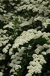 Snowmound Spirea (Spiraea nipponica 'Snowmound') at Minor's Garden Center
