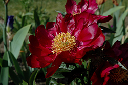 Monsireur Jules Elie Peony (Paeonia 'Monsieur Jules Elie') at Minor's Garden Center