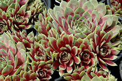 Commander Hay Hens And Chicks (Sempervivum 'Commander Hay') at Minor's Garden Center