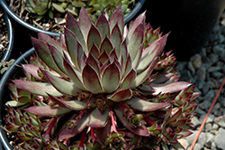 Twilight Blues Hens And Chicks (Sempervivum 'Twilight Blues') at Minor's Garden Center