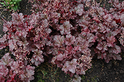 Berry Marmalade Coral Bells (Heuchera 'Berry Marmalade') at Minor's Garden Center