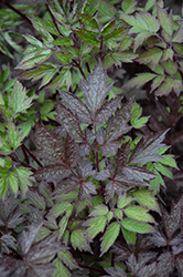 Black Negligee Snakeroot (Cimicifuga racemosa 'Black Negligee') at Minor's Garden Center