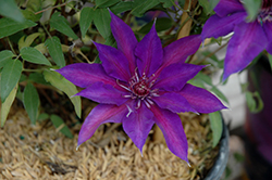 Edda Clematis (Clematis 'Evipo074') at Minor's Garden Center