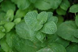 Apple Mint (Mentha suaveolens) at Minor's Garden Center