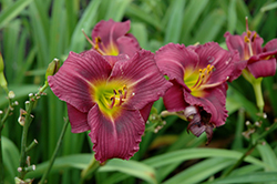 Little Grapette Daylily (Hemerocallis 'Little Grapette') at Minor's Garden Center